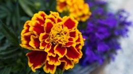 Kelowna backyard flowers
