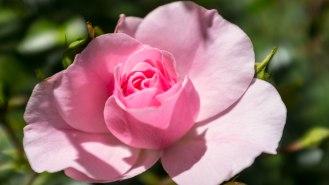 Kelowna garden rose
